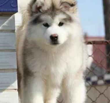 训练阿拉斯加雪橇犬的三大主要原则